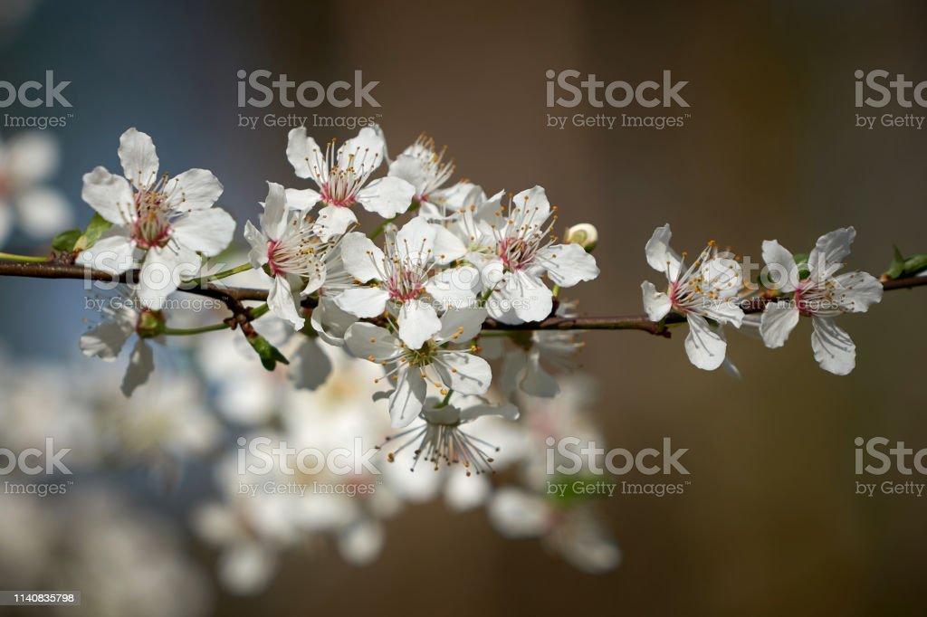 Blüten auf einem wilden Kirschbaum – Foto