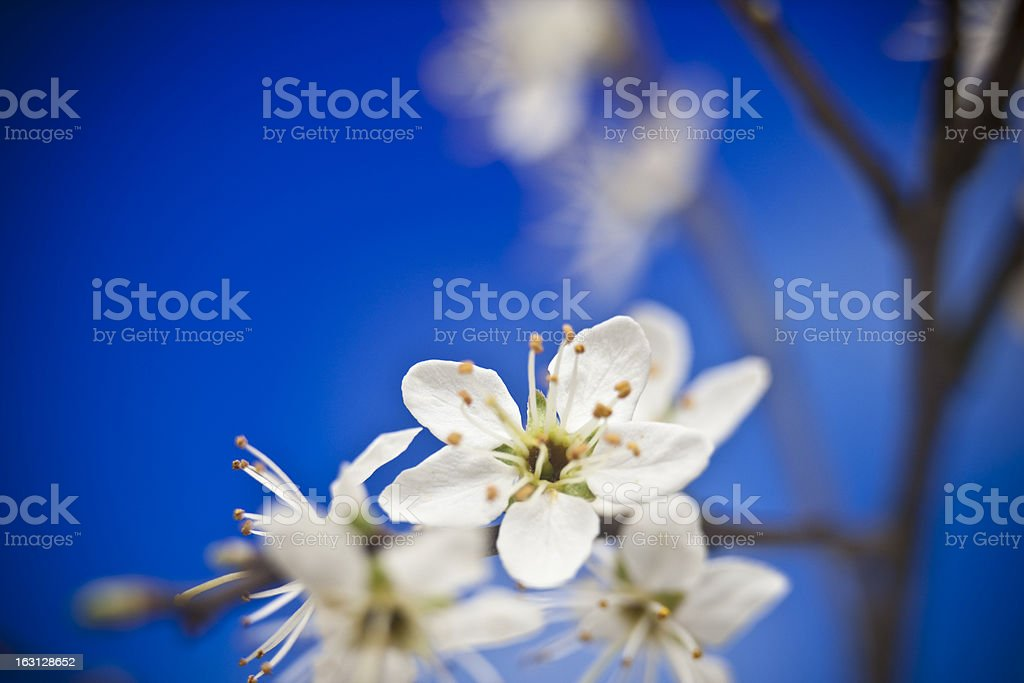 Blossoms on blue royalty-free stock photo