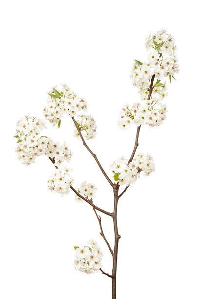 Blossoms on pear tree picture id168620121?b=1&k=6&m=168620121&s=612x612&w=0&h=rdnoekngjk lwuir2hqjzt0 owrfgirmrshpuzwngzw=