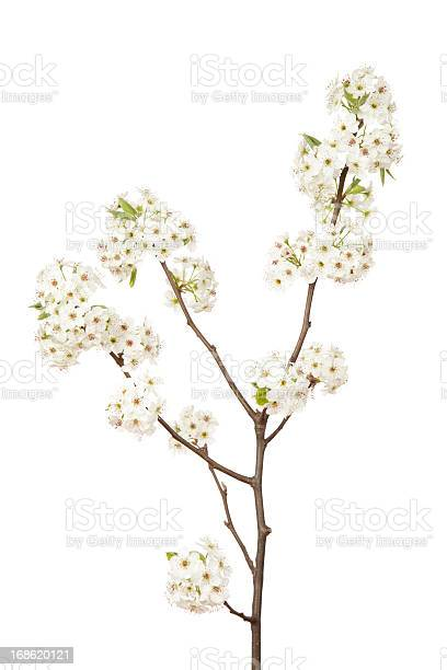 Photo of Blossoms on Pear Tree