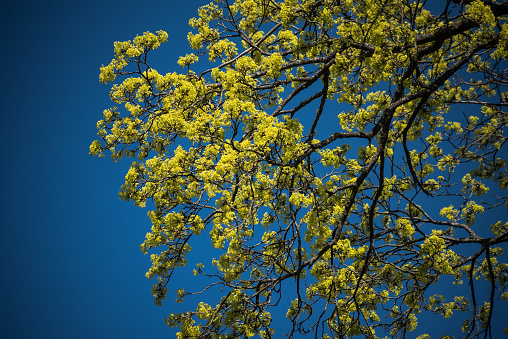 Blossoms on the branches of a Maple Tree in the sunny spring day.