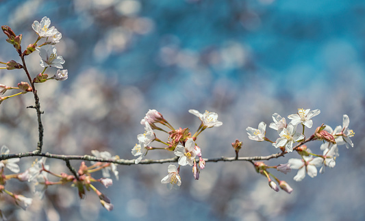 White Cherry Blossoms on tree branch