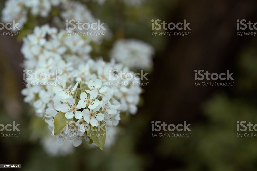 Blossoms pear tree in the garden, beautiful background photo libre de droits