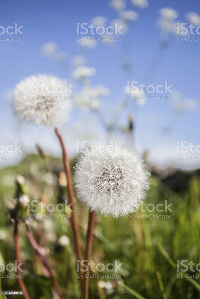 blow ball dandelion stock photo more pictures of close up istock