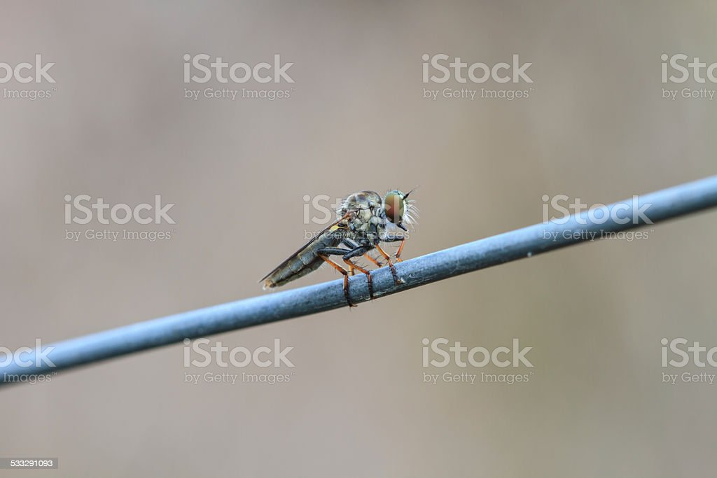 Blow fly, carrion fly, bluebottles, greenbottles, or cluster fly stock photo