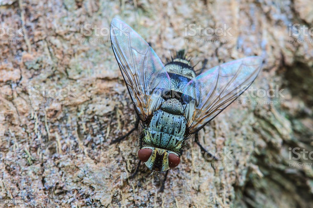 Blow fly, carrion fly stock photo