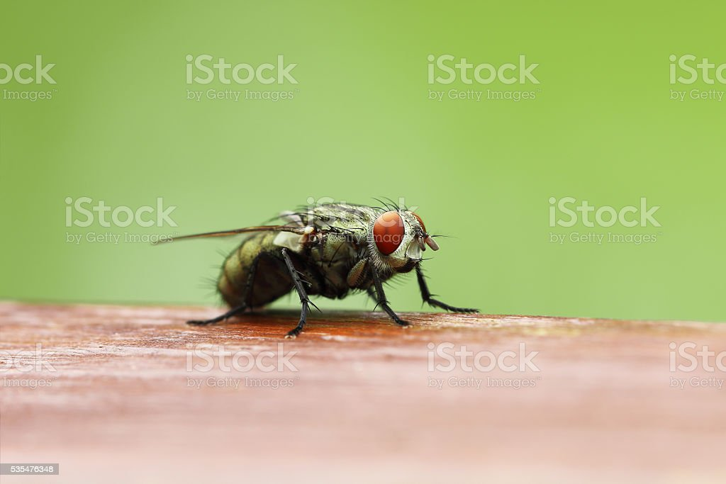 Blow fly on wooden board with blur green background stock photo