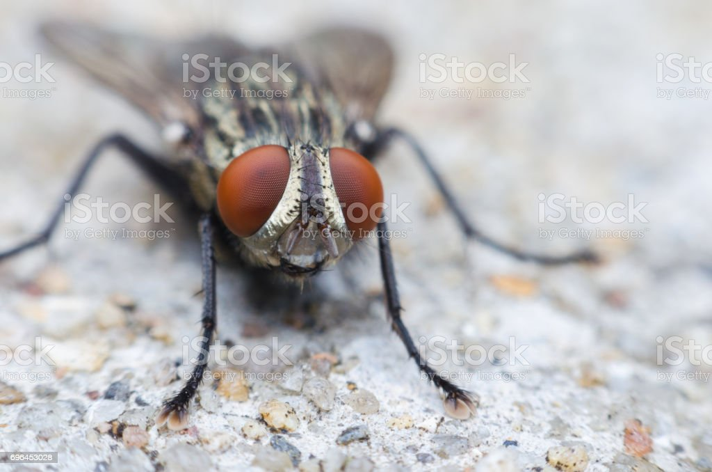 blow fly or carrion fly on concrete floor stock photo