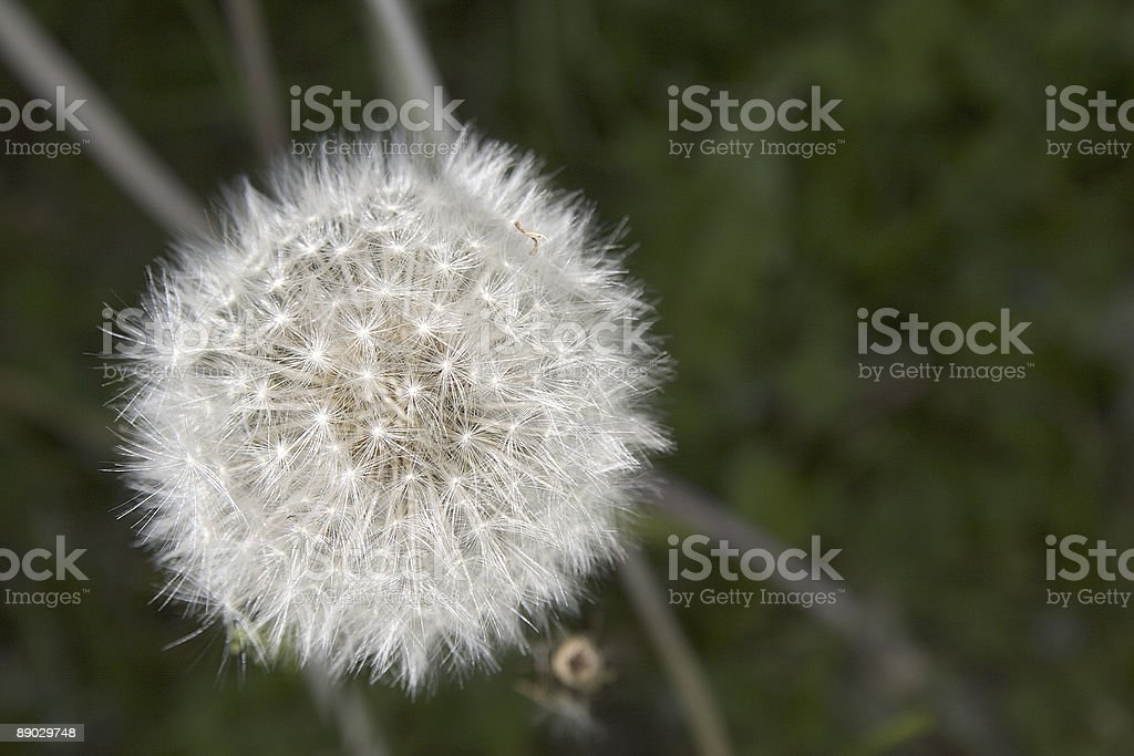 Blowball 4 royalty-free stock photo