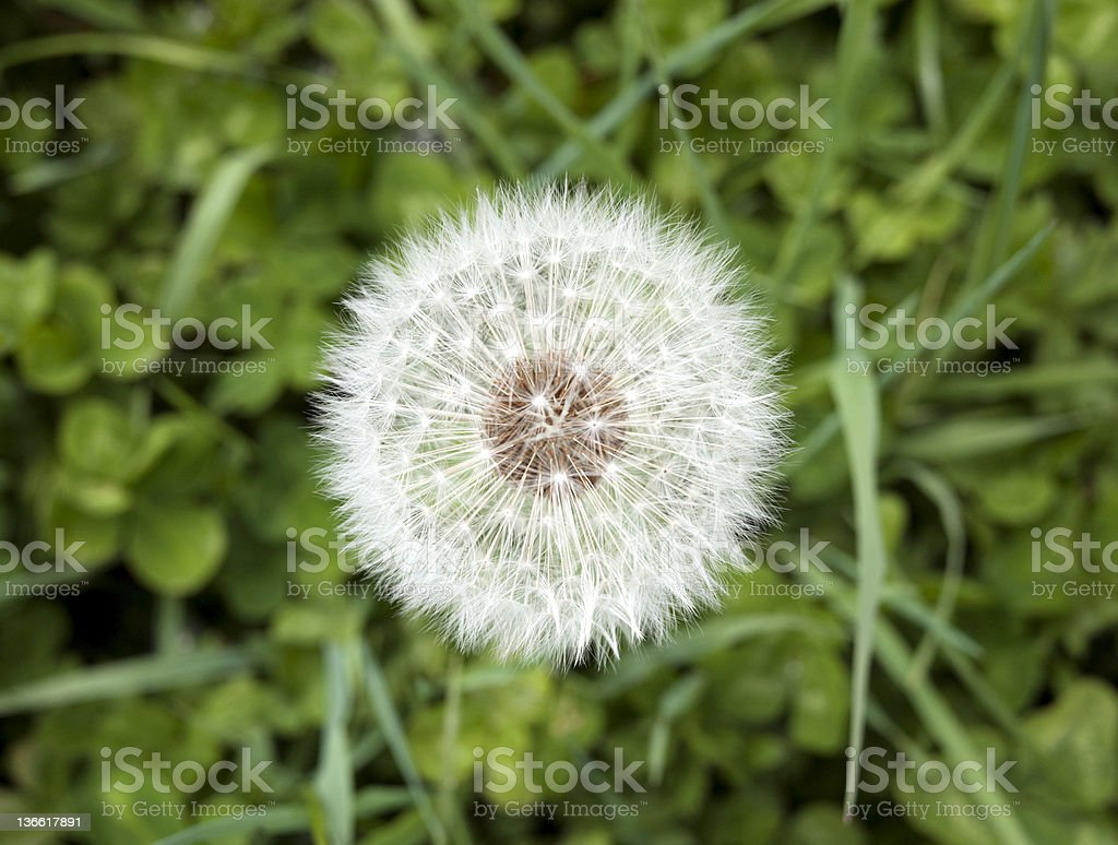 Blowball Head royalty-free stock photo
