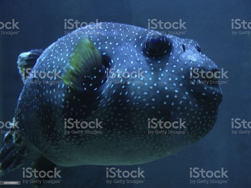 Blowfish aquarium royalty-free stock photo