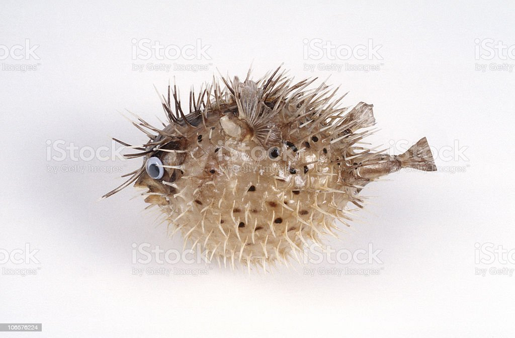 Blow-Fish Side stock photo