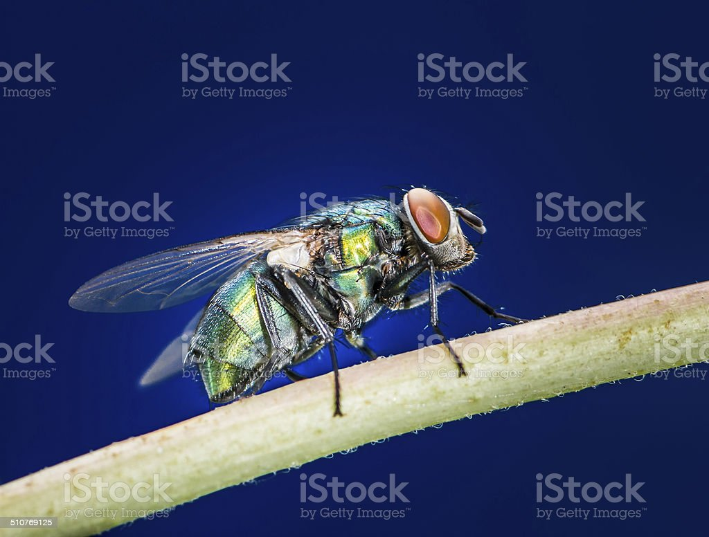 Blowfly stock photo
