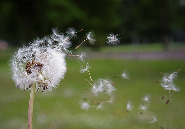blowing a dandelion - rikmcrae stock photos and pictures