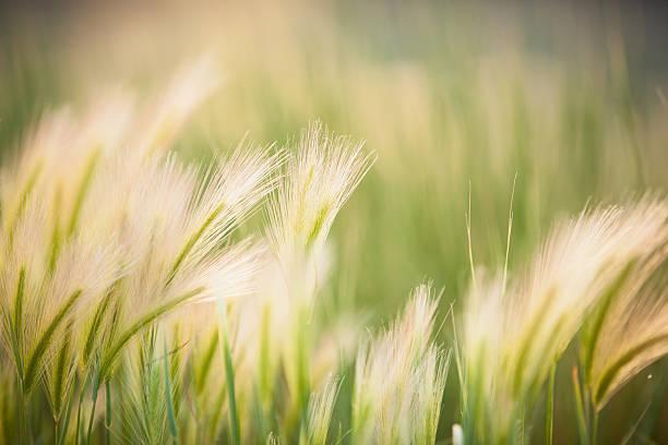 послать травы - семейство злаков стоковые фото и изображения
