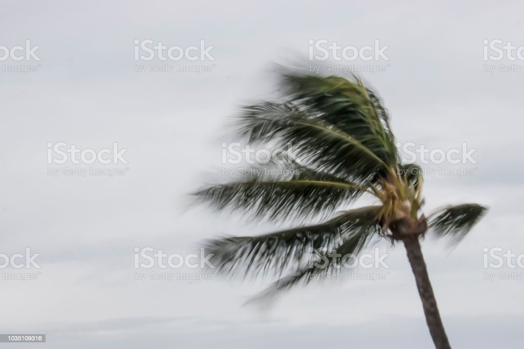 Blowing Palm Tree during Storm in Hawaii stock photo