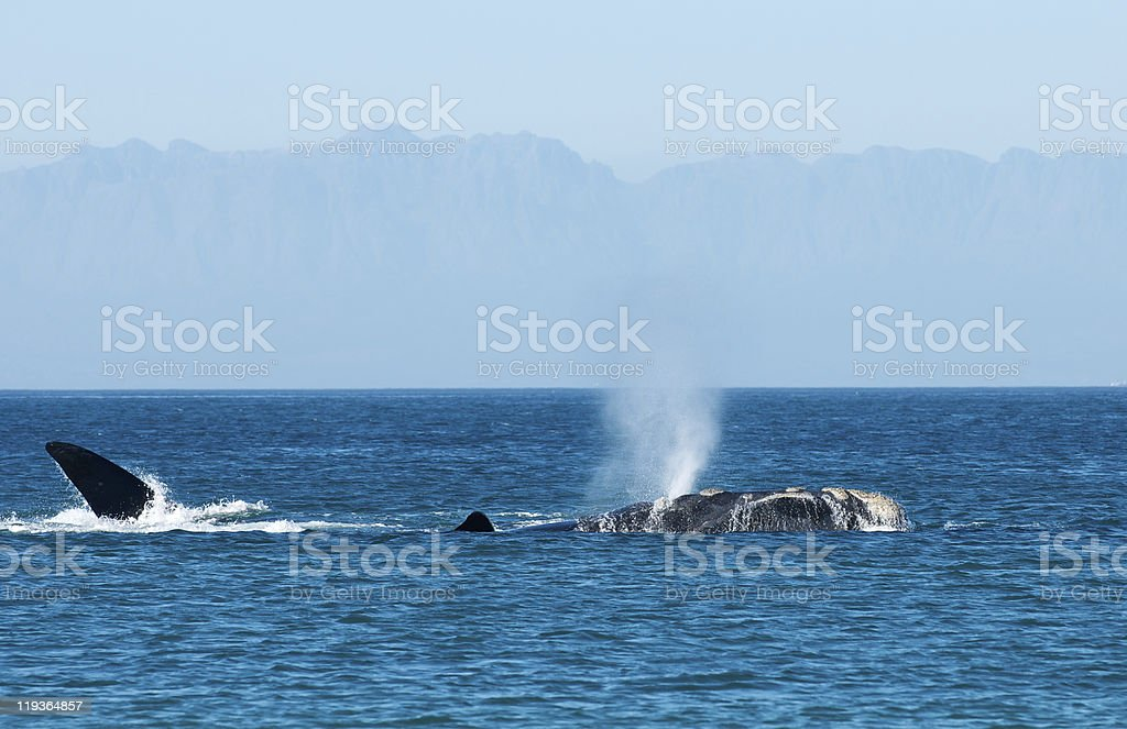 Blowing whale  Blowhole Stock Photo