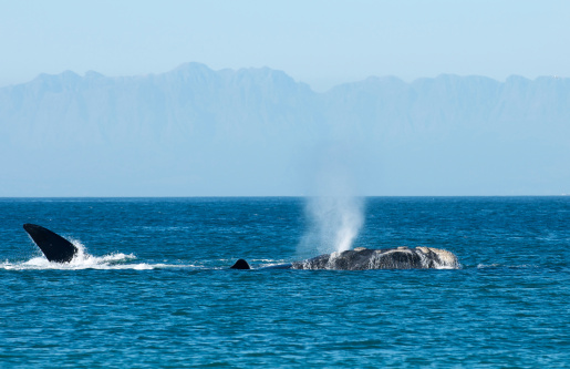 Blowing Whale Stock Photo - Download Image Now