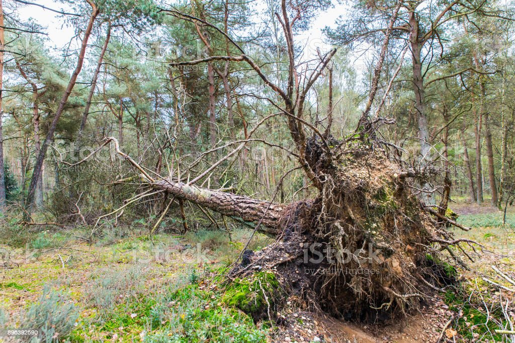 Blown and fallen pine tree in dutch forest stock photo
