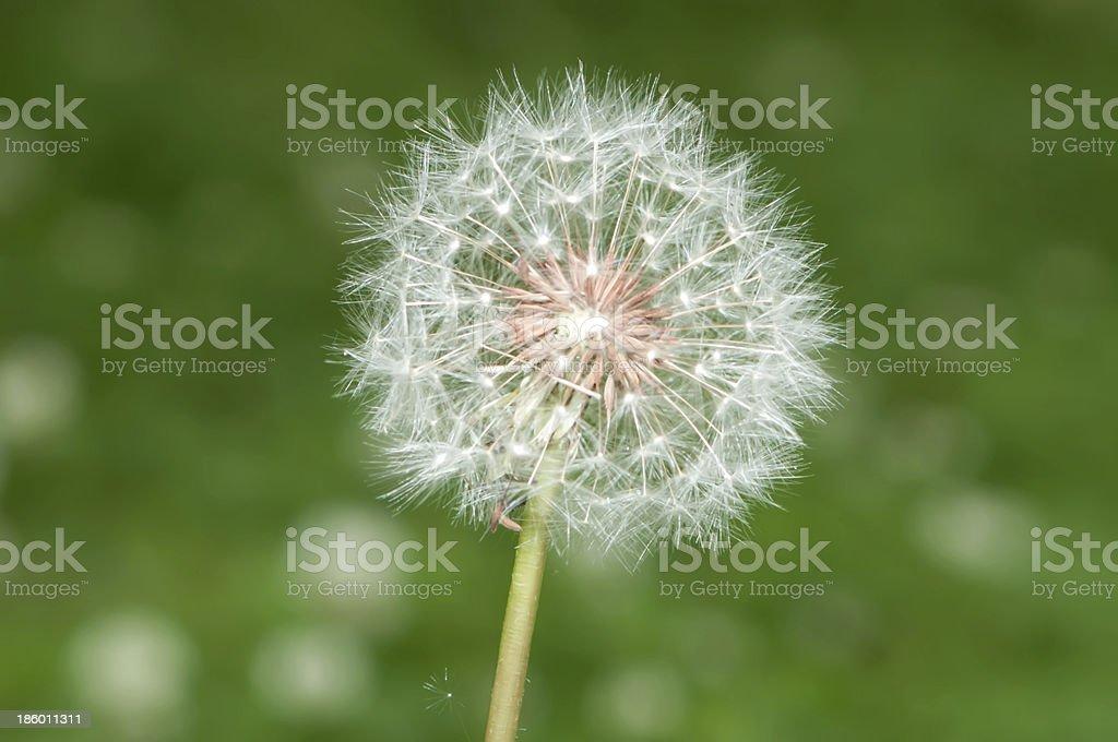 Blown dandelion royalty-free stock photo
