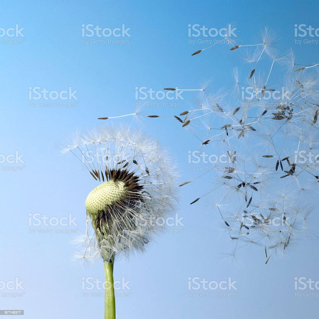 blown dandelion seeds royalty-free stock photo