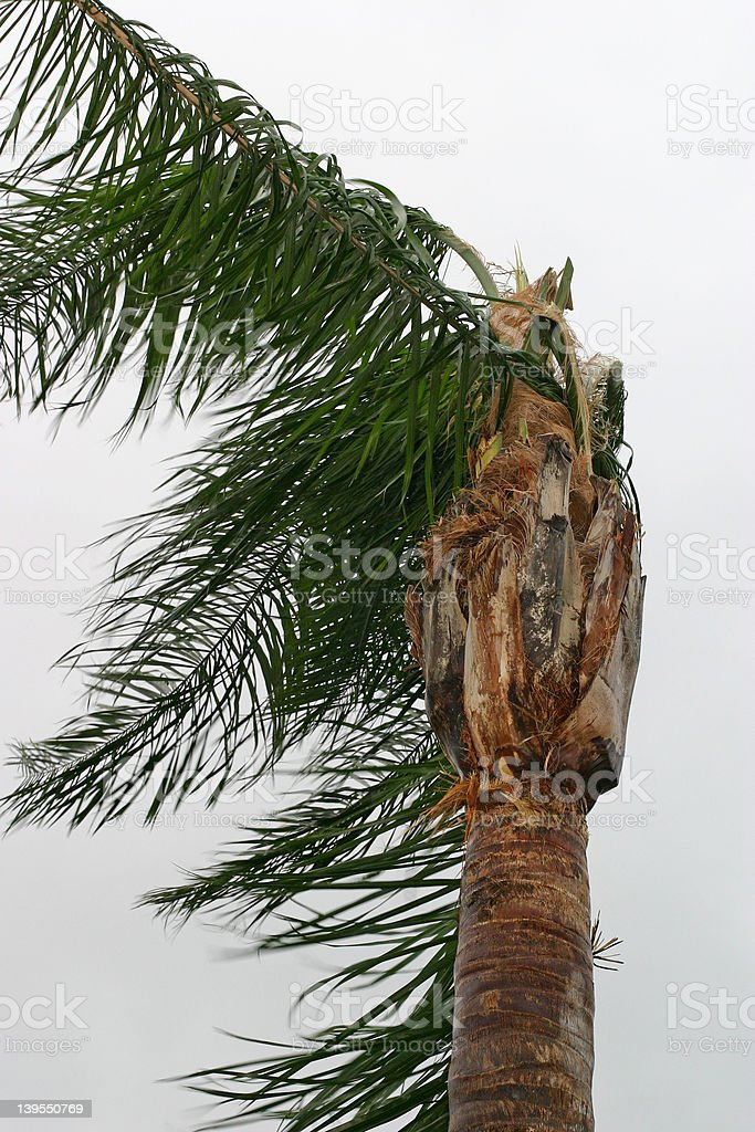 Dramatic photograph of a palm tree blown by high winds of a Florida...