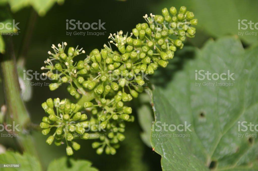 Blüte im Weinberg stock photo