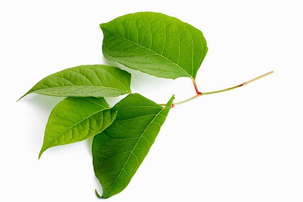 Blätter Japanischer Knöterich, Staudenknöterich (Fallopia japonica, syn. Reynoutria japonica) stock photo