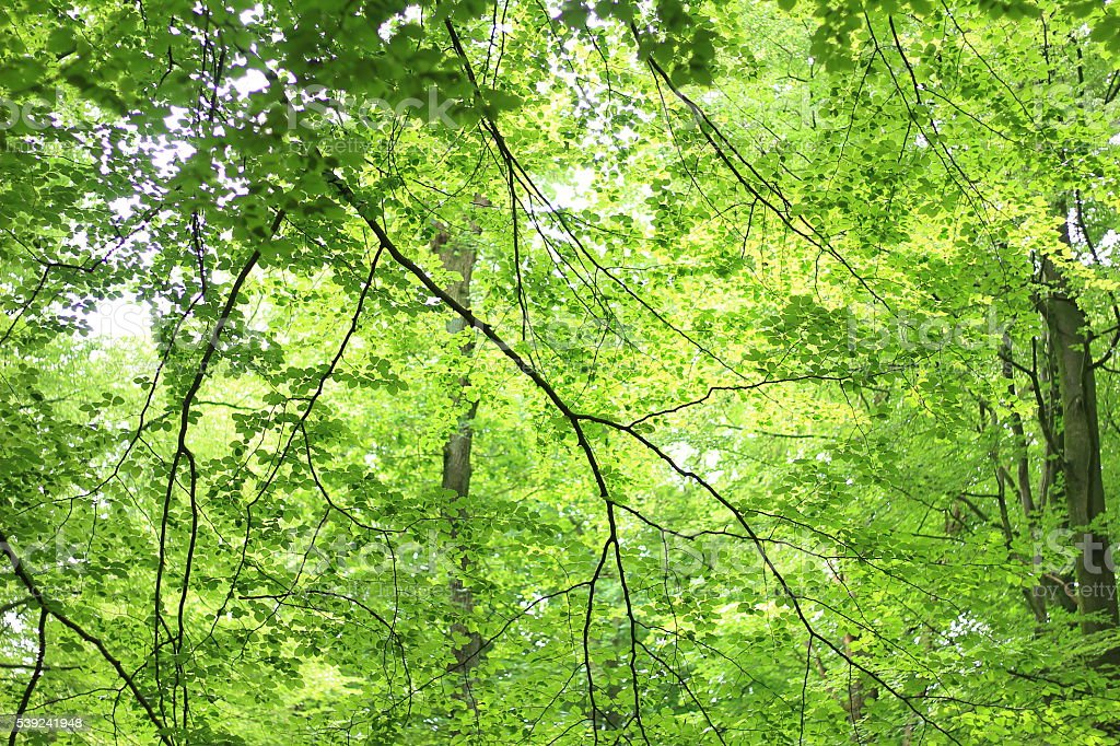 Blätterdach royalty-free stock photo