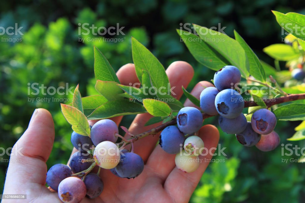 bluberries in the human hand stock photo