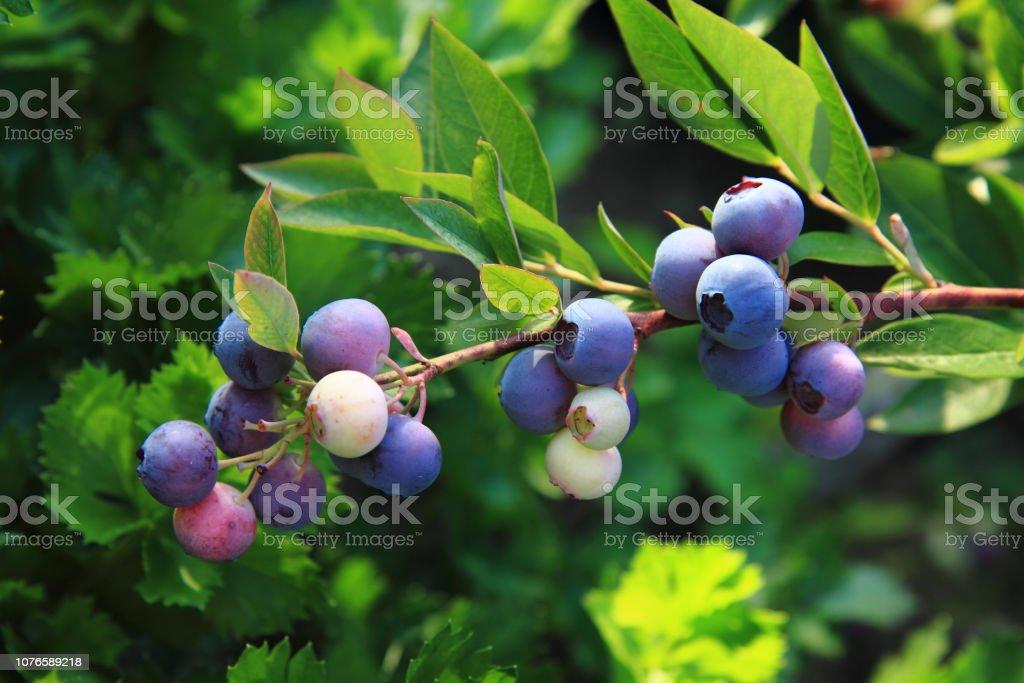 bluberries plant stock photo