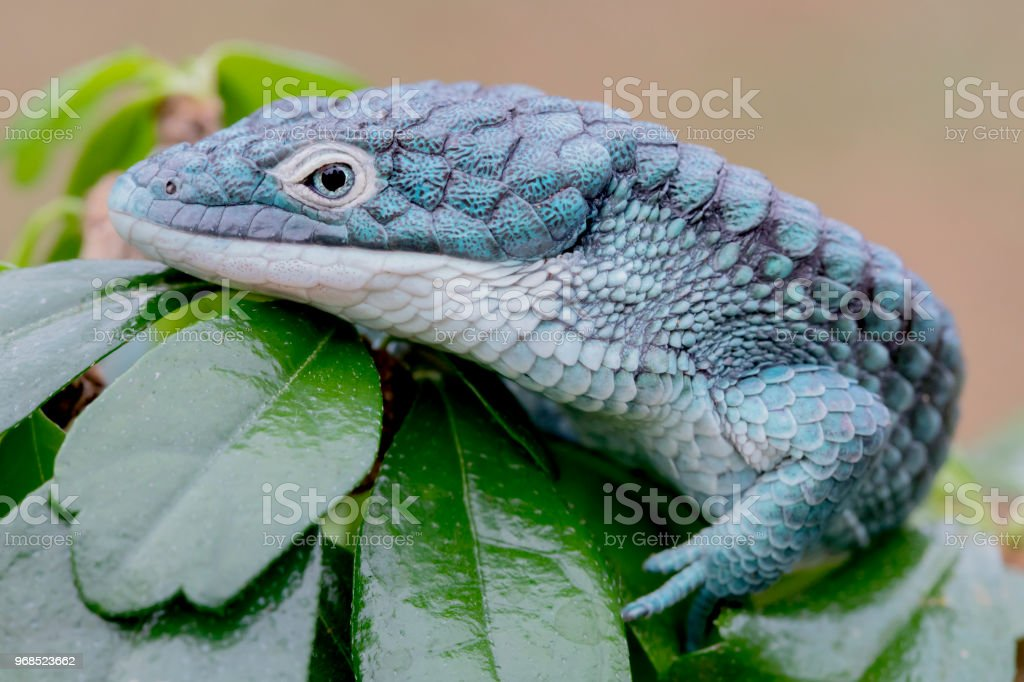 Blue Abronia (Mexican Alligator Lizard) in Rainforest royalty-free stock photo