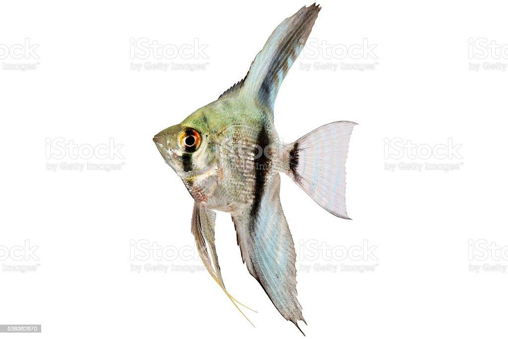 Blue Adolescent Silver Angelfish Pterophyllum Scalare Aquarium Fish