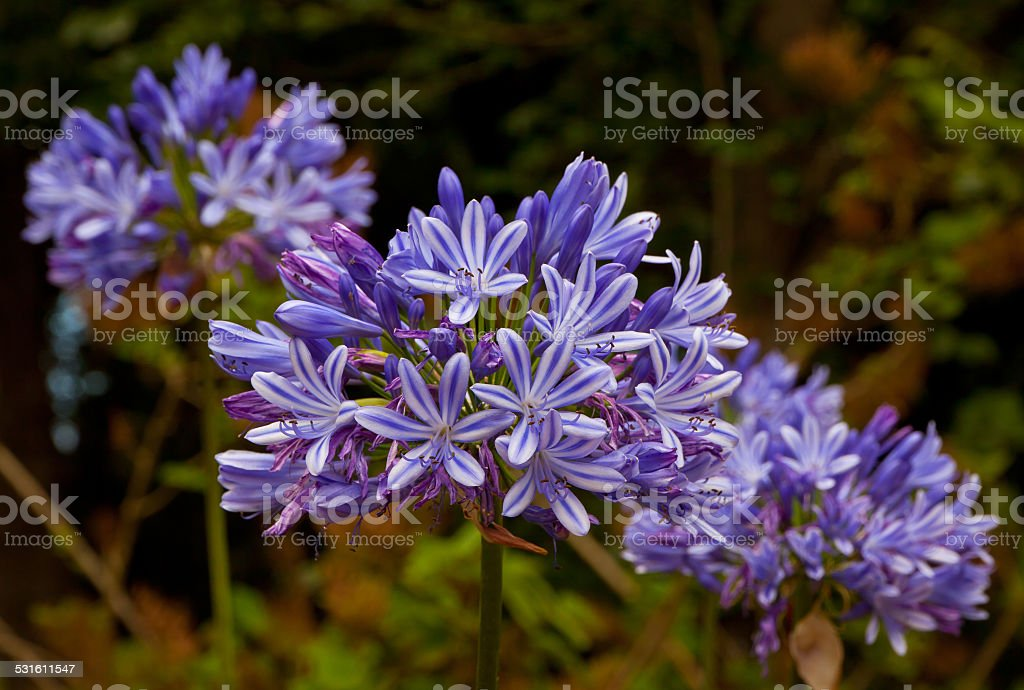 Blue African Lily flowers stock photo