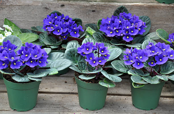 Blue african violets stock photo