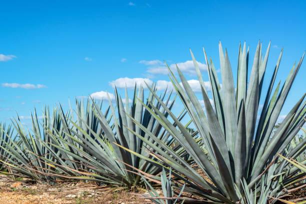 Blue Agave and Blue sky stock photo