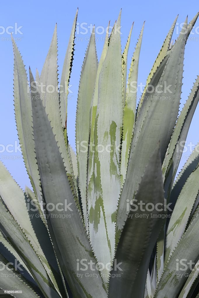 Blue Agave, Close Up. stock photo