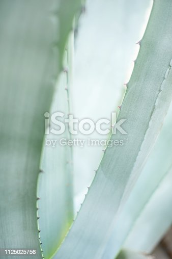 istock Blue agave close up, tropical plant natural background 1125025756
