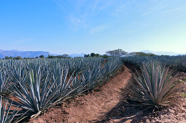 Blue Agave Field in Mexico stock photo