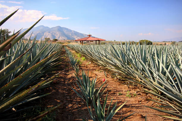 Blue Agave Field, Tequila, Mexico stock photo