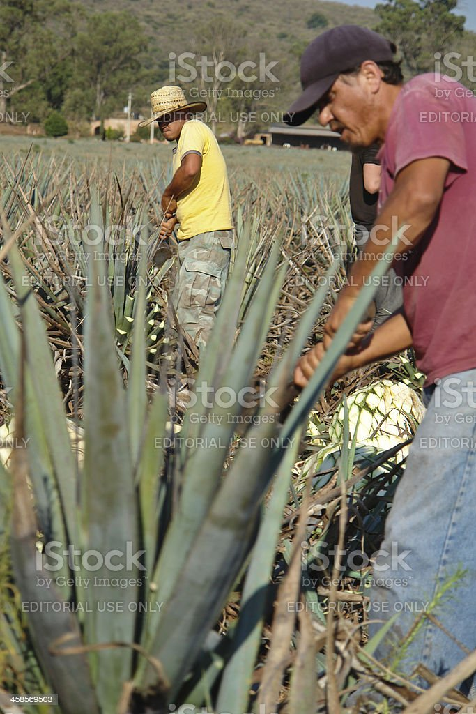 Blue agave harvesting stock photo