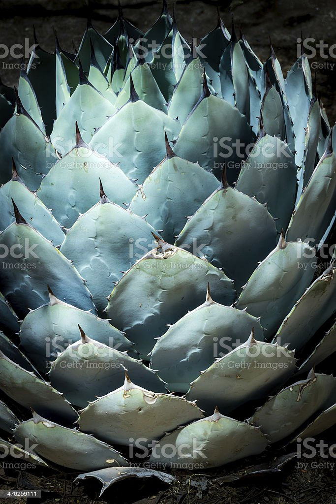 Blue Agave in the Desert stock photo
