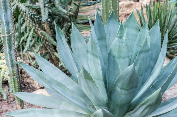 sera yakın çekim taşlar ve diğer succulents arka plan üzerinde mavi agav. arka plan - agave stok fotoğraflar ve resimler