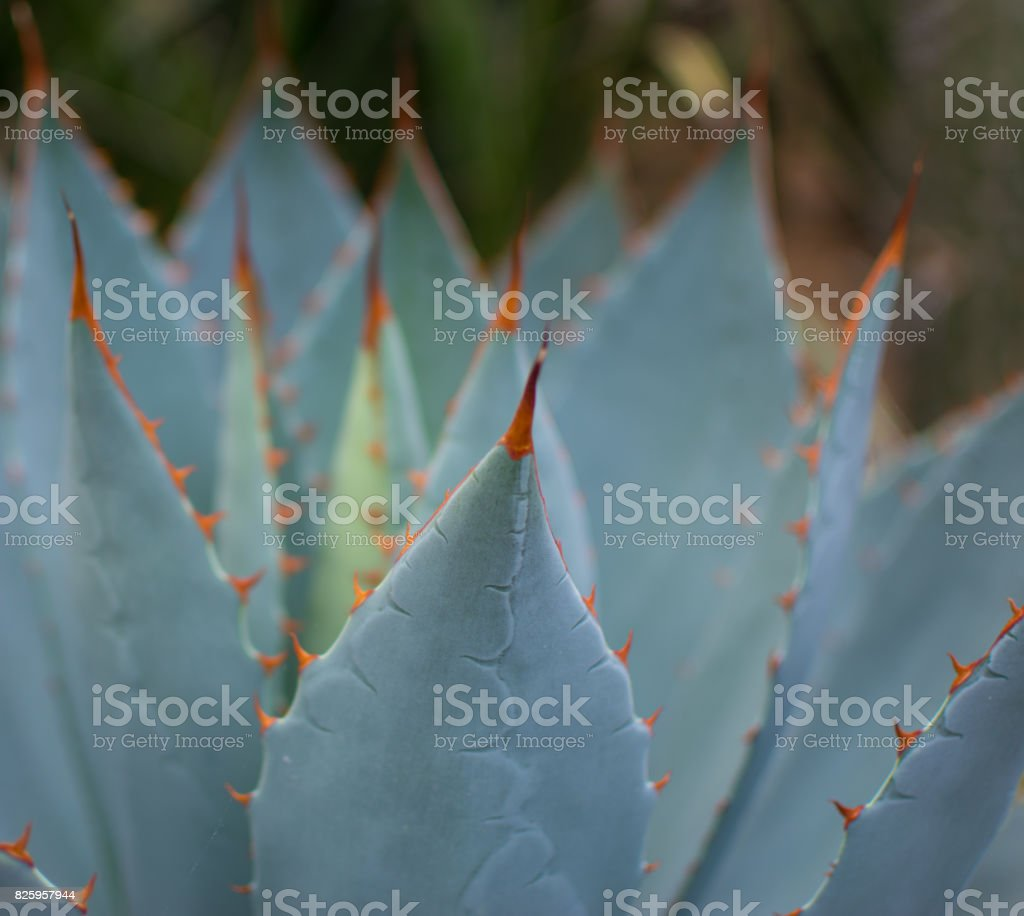 Blue Agave stock photo