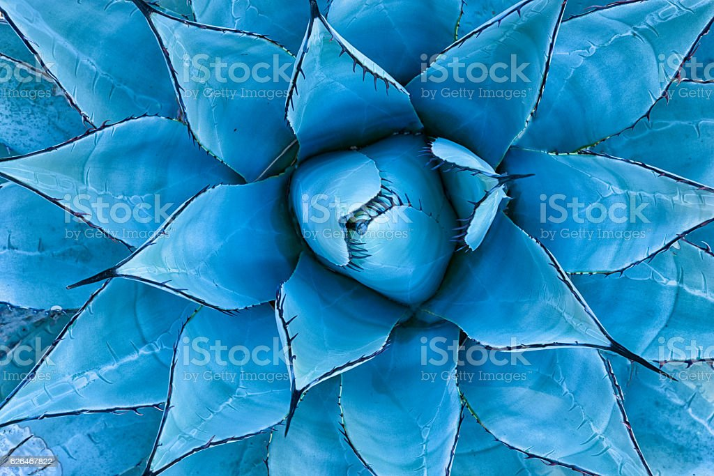 Blue Agave Plant stock photo
