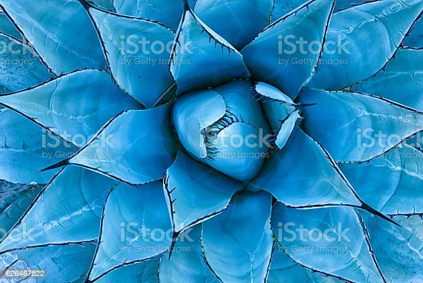Photo of Blue Agave Plant
