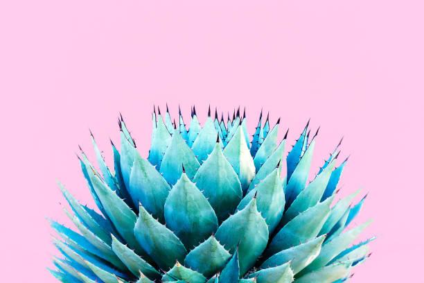 blue agave (amerikan aloe) bitki; pembe bir arka plan - agave stok fotoğraflar ve resimler