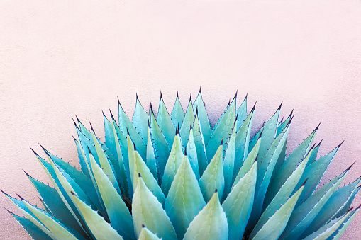 A spiky blue agave (American aloe) plant against a pink background. Copy space available above the plant. Concepts: teamwork, unity, working together, togetherness, sharp, sharp team.