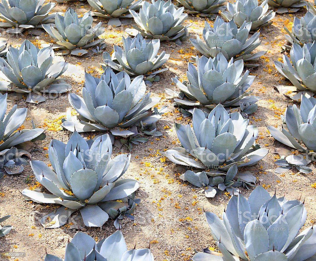 Blue Agave Symmetry stock photo