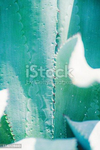 Peyote Cactus, Plant, Cactus, Latin America, Quintana roo